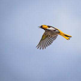 Bullock's Oriole by Jim Hendrickson - Novices Only Wildlife ( #bird, #nature, #oriole, #bullocks_oriole, #wildlife )