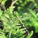 Eastern Pond Hawk female