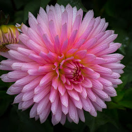 It Is Pink Embrace by Janet Marsh - Flowers Single Flower ( pink embrace, dahlia )