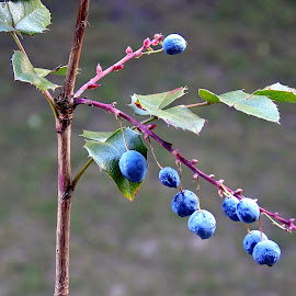 MAHONIA by Wojtylak Maria - Nature Up Close Other plants ( mahonia, close up, fruits, bush, branch )