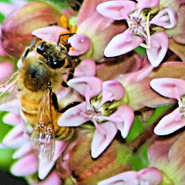 My first bee shot by Te-ge Bramhall - Novices Only Macro ( tongue, bee, nectar, learning, backyard, flowers )