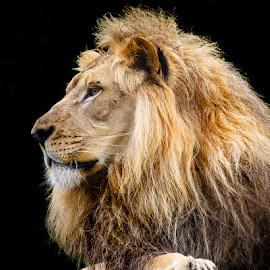 Lion by Buddy Woods - Animals Lions, Tigers & Big Cats ( cats, king of the jungle, lion, cat, lions, male lion )