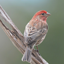 House finch by Steven Liffmann - Animals Birds ( bird, red, backyard bird, male, house finch, small bird,  )