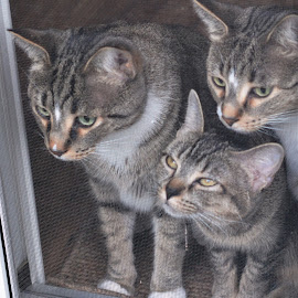 Plotting Their Escape by Beth Bowman - Animals - Cats Portraits (  )