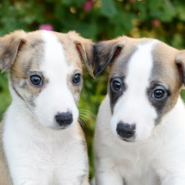 Whippet pups by Marius Birkeland - Animals - Dogs Puppies ( puppies, pups, dogs, dog, whippet )