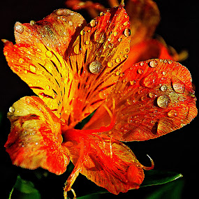 Saffron... almost by Pradeep Kumar - Flowers Single Flower