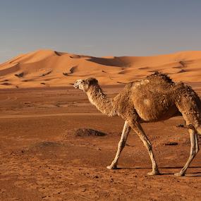 Camel in Erg Chebbi, Morocco by Peter Podolinsky - Landscapes Deserts