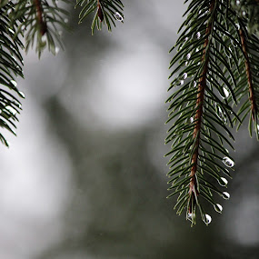 After the rain by Alex Heimberger - Nature Up Close Trees & Bushes ( nature, dew, trees, pine, rain )