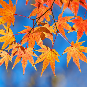 Ode to Autumn by Paul Atkinson - Nature Up Close Trees & Bushes ( japan, tree, park, autumn, palmatum, color, fall, acer, japanese, leaf, maple )