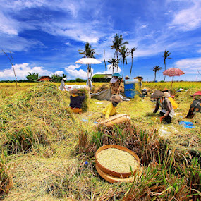 Padi Field Harvesting by Alit  Apriyana - Landscapes Prairies, Meadows & Fields ( bali )