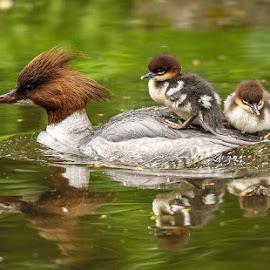 by Andreas Gandl - Animals Birds ( bird, water, munich, chick, nature, common merganser, wildlife, merganser, birds, nymphenburg )