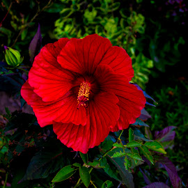 Hibiscus by Paul Drajem - Flowers Flowers in the Wild ( red, nature, hibiscus, plants, vegetation, garden, flower,  )