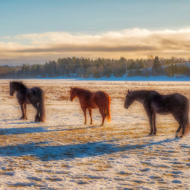 Friends by Dan Westtorp - Animals Horses