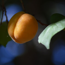 Apricot  by Arthur Brokop II - Nature Up Close Gardens & Produce ( green and yellow, fruit, fruit on the tree, fruits and vegetables, yellow, apricot )