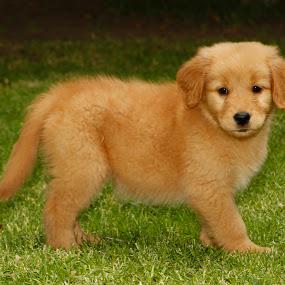 Golden by Cristobal Garciaferro Rubio - Animals - Dogs Puppies ( puppie, dog, golden retriever )