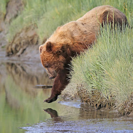 Should i go or not!! by Anthony Goldman - Animals Other Mammals ( water, bear, wild, predator, alaskan brown, alaska, refection, cub )