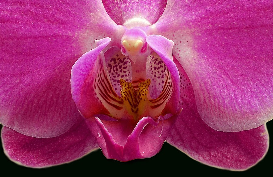 Pink Orchid  by William Lallemand - Nature Up Close Flowers - 2011-2013