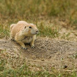 Prairie Dog by Nancy Merolle - Animals Other Mammals ( prairie dog, north dakota, theodore roosevelt nat'l park, rodent, animal )