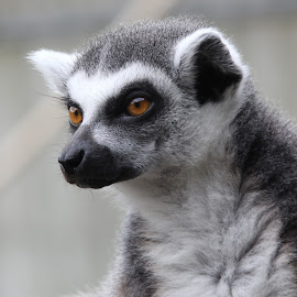 Lemur by Ralph Harvey - Animals Other Mammals ( wildlife, lemur, ralph harvey, marwell zoo, animal )