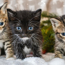 3 little kittens by Michelle Predinchuk - Animals - Cats Kittens ( cat, pet, kittens, felines, animal )