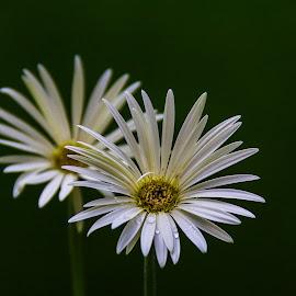Pristine by Nilotpal Sarma - Flowers Flower Gardens