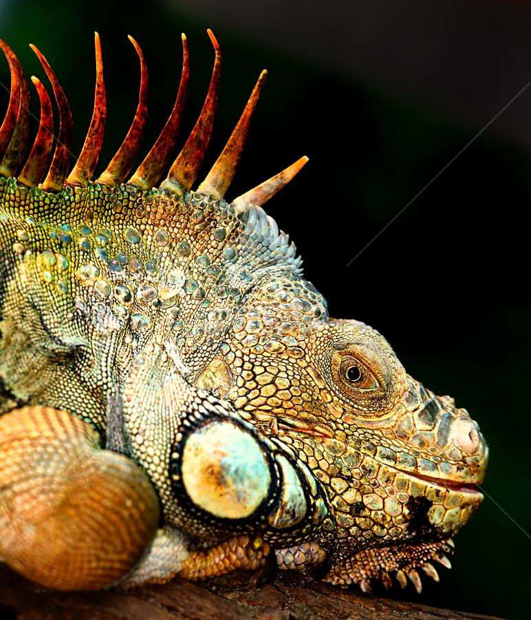 Monsieur dragon by Gérard CHATENET - Animals Reptiles