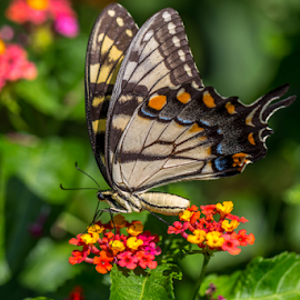 Eastern Tiger Swallowtail by Liam Douglas - Animals Insects & Spiders ( orange, butterfly, red, green, yellow, insect, black,  )