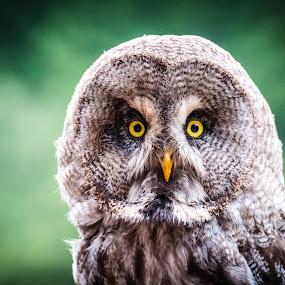 by Ralf Harimau Weinand - Animals Birds ( bird, deutschland, bird of prey, raubvogel, germany, greifvogelpark, saarburg, bartkauz )