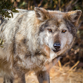 Mexican Gray Wolf by Dave Lipchen - Animals Other Mammals ( mexican gray wolf )