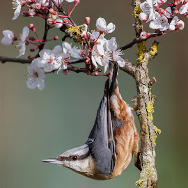 Nuthatch in Cherry Blossom by Lee Sutton - Uncategorized All Uncategorized