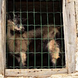 Opazuje by Bojan Kolman - Animals Other Mammals (  )