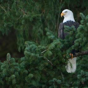 Fraser River Eagle by Clement Stevens - Uncategorized All Uncategorized ( eagle )