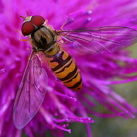 Tiny Hoverfly by Chrissie Barrow - Animals Insects & Spiders ( wild, orange, thistle, thorax, abdomen, stripes, insect, eyes, hoverfly, macro, red, wings, black, flower, animal )