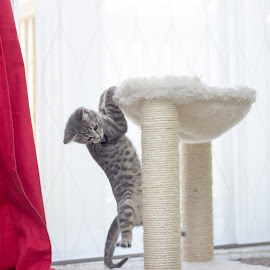 Cliff Hanger by Skylar Marble - Animals - Cats Playing ( kitten, cat, playful, cute kitten, furry, cute cat, cuddly, cute, cuddle, handsome, tabby, friend )