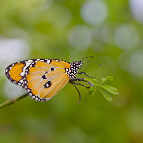 Butterfly aware of the camera ^^ by Surya Nata - Animals Insects & Spiders