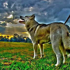 Puppy Pride by Mike Mills - Animals - Dogs Portraits ( husky, siberian )