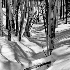 ASPEN by Marko Ginsberg - Nature Up Close Trees & Bushes ( b&w, snow, aspen )