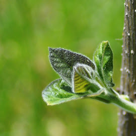 Sprout by Cengiz Tasci - Nature Up Close Leaves & Grasses ( green leaves, trees, sprout, leaves, spring )