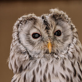 Ural owl by Garry Chisholm - Animals Birds ( bird, garry chisholm, nature, owl, wildlife, prey, raptor )