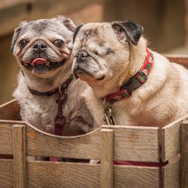Hitching a ride by Myra Brizendine Wilson - Animals - Dogs Portraits ( canine, dogs, pet, pets, wagon, pug dogs, pug dog, dog, pug,  )