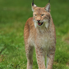 Lynx d'Asie by Gérard CHATENET - Animals Lions, Tigers & Big Cats