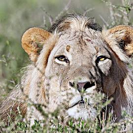 Stalking.... by Pieter J de Villiers - Animals Lions, Tigers & Big Cats