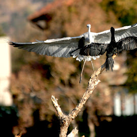Aligned by Christo W. Meyer - Novices Only Wildlife ( bird, landing, cormorant, africa, heron )