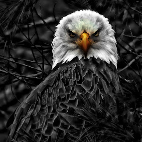 by Bruce Newman - Animals Birds ( bird of prey, eagle, black and white, color, dramatic,  )