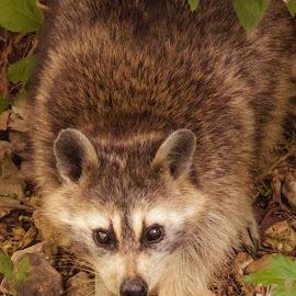 Myrtle by Jennifer  Loper  - Animals Other Mammals ( bella vista, raccoon, old, myrtle, wild )