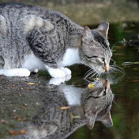 Reflections of a feral cat by Anthony Goldman - Animals - Cats Portraits ( calico, cat, pwc84, Dogs, Cats, Pets, Rabbits, Animals, pet, livestock, cows, reflection,  )