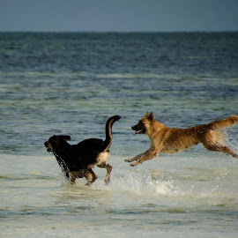 by Cassandra G - Animals - Dogs Running