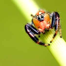 Marajuk by Just Arief - Animals Insects & Spiders ( macro, spider, insect, natural, photography, jumper, animal )