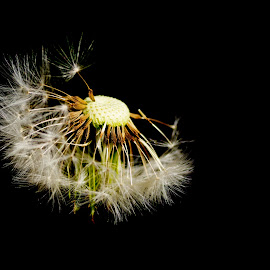 Dandelion 2 by John Holmes - Nature Up Close Other plants ( macro, ireland, plants, minimal, weeds, dandelions, garden, spring, fowers, wild flowers )
