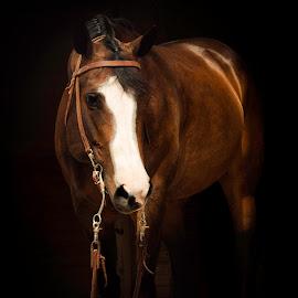 Shelby by Bonnie Filipkowski - Animals Horses ( bay, background, horse, show, black, quarter )